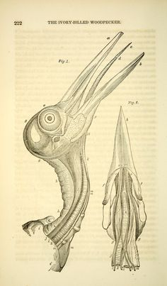 v 4 - The birds of America :John James Audubon - Biodiversity Heritage Library  -