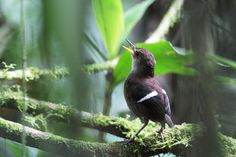 Uirapuru-de-asa-branca (Microcerculus bambla)