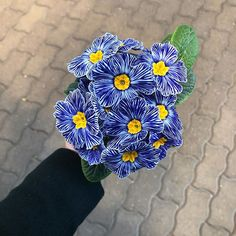 100pcs// lot Zebra Blue Evening Primrose Seeds Flower Bloom in your garden decor