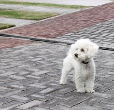 Mate mini poodle <3