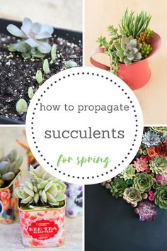 Easy Guide to Growing Succulents Indoors and Out Succulents, how to Propagate Succulents, Propagating Succulents, Gardening, Gardening DIY, Gardening and Landscape, Indoor Gardening, Indoor Gardening Tips and TricksEasy Guide to Growing Succulents Indoors and Out