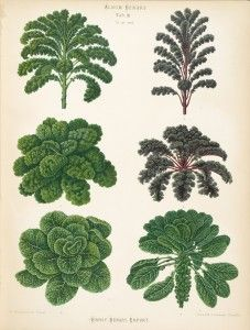 Kales and Brussels sprouts illustrated in Album Benary, 1876-1893