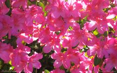 Hot pink azaleas, backlit by the sun so everything glows — these are the brightest flowers of spring in North Florida.