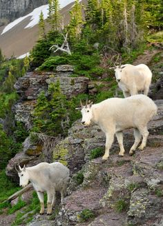 Mountain Goats, Glacier National Park, Montana- I like this set up of animals(dangers? Glacier National Park Montana, Glacier Park, Alaska, Animals Beautiful, Cute Animals, North American Animals, Big Sky Country, Nature Animals, Mammals