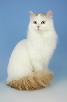 Turkish Van Cats  -  The Turkish Van is a big, beautiful cat with distinctive markings on its head and tail and an unusual love of water. Also known as the swimming cat, the Van loves to paddle its paws in streams, fish for its supper and even take a cooling dip in your bath.