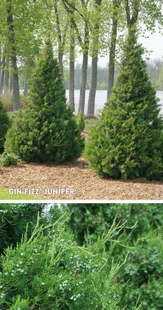 Evergreen for Sunny Spots - front yard landscaping simple Landscape Concept, Landscape Design, Garden Design, Evergreen Landscape, Evergreen Trees, Trees For Front Yard, Privacy Plants, Gin Fizz, Front Yard Design