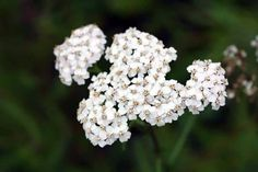 Yarrow is one of the best herbs for fever. Find out what else yarrow can be helpful for. Summer Plants, Summer Garden, Summer Flowers, Sun Plants, Hardy Plants, Flowering Plants, Blooming Flowers, Garden Yard Ideas, Lawn And Garden