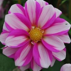 Dahlia 'Priceless Pink' - pack of 3 tubers - Rose Cottage Plants