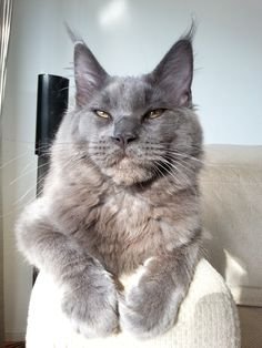 Perry blue Maine Coon
