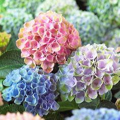 Cheap hydrangea seed, Buy Quality orchid garden directly from China flower seeds Suppliers: Multi Colors Promotion Hot Flowers Seed Bonsai Mix Hydrangea Seeds Macrophylla Orchids Garden Very Easy Blooming Plants Hydrangea Macrophylla, Hydrangea Seeds, Hydrangea Care, Hydrangea Not Blooming, Hydrangea Flower, Flowers Garden, Hydrangea Bush, Growing Hydrangea, Perennials