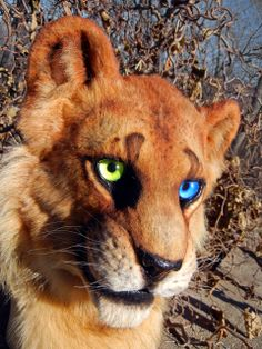 lion with heterochromia