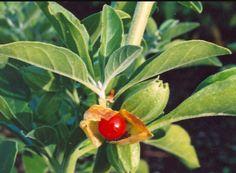 Withania Somnifera; Ashwaganda root
