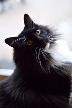 <3 Beautiful Maine Coon <3