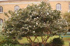 Viburnum lantana winter - Поиск в Google