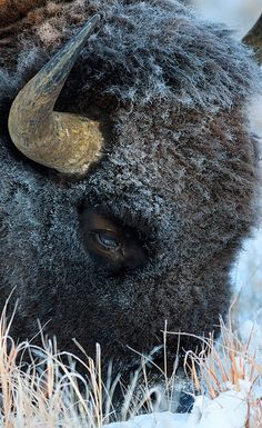 Colorado.  Buffalo.  Winter | ©Jeff Owens ~ OJeffrey Photography.