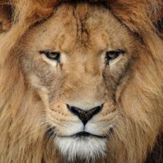 skeptical lion is skeptical