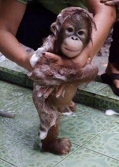 Baby orangoutang bathing