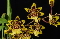 Odontocidium Wildcat 'Yellow Butterfly' - Flickr - Photo Sharing!