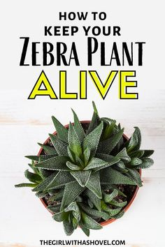 Are you struggling to keep your zebra plant alive?! Keep it alive and healthy with these awesome haworthia plant care tips! #haworthia #zebraplant Zebra Plant Care | Zebra Plant Care Tips | Haworthia Plant Care | Haworthia Care | How to Care for Zebra Plant Succulent | Zebra Plant Succulent |