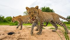 Young Leopard, South Luangwa National Park, Zambia - Bushcamp Company