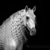 Pura Raza Espaniola - Equine Photography Katarzyna Okrzesik