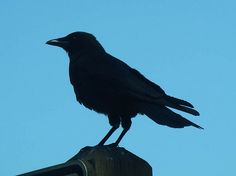 crow silhouette by artistgal, via Flickr - i think this will be the tattoo