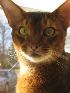 Pictures of Abyssinian Cat Breed