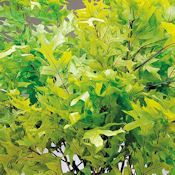 Preserved Spring Green Oak Leaves, 1LB Decorative, Pressed, Dried Leaves  - DriedDecor.com