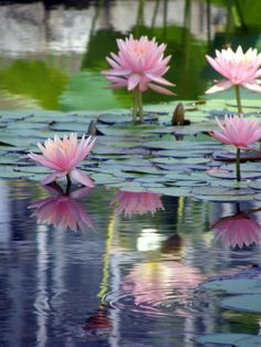 """lotus blossoms ~ """"The Lotus lives in the water, but the water does not wet its petals..."""""""