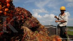 Ekspor cpo menggeliat bualn september 2013