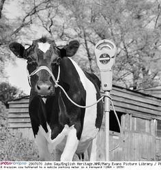 A freisian cow tethered to a mobile parking meter in a farmyard - Vache attachée à un Parcmètre