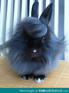 """I'm so Fabulous!"" #Lion Head Rabbit"
