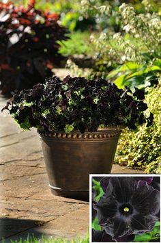 Top 10 Black Plants and Flowers to Add Drama to Your Garden - Top Inspired