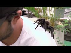 Bitten by a massive tarantula - YouTube