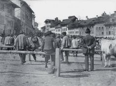 ÉLEVAGE Marché aux bestiaux à la Planche-Supérieure, Fribourg, avant que la vache fribourgeoise, noire et blanche, ne disparaisse de la circ...