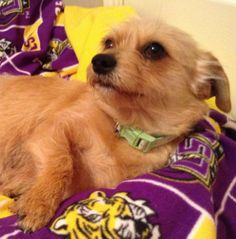 Mona Norfolk Terrier  Terrier Mix • Young • Female • Small Buster's Friends Houston, TX