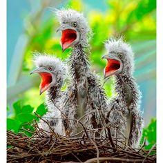 Young Malay Night Herons.