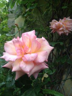 Rose  Astrea