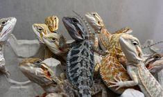 Bearded Dragon Color Morphs #beardeddragonideas