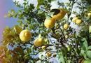 Citrus trees' characteristic dark, shiny leaves make them easy to identify from other types of fruiting and nonfruiting trees, but it can be difficult to tell the difference between various ...