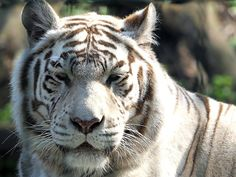 Free Jigsaw Puzzles Online - WHITE TIGER  #JigsawPuzzles #JigsawPuzzle #Puzzle