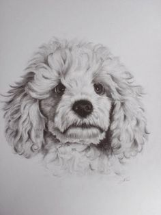 'POODLE' - A DRAWING OF A SMALL CUT WHITE POODLE. DRAWN IN GRAPHITE ON HEAVYWEIGHT CARTRIDGE PAPER
