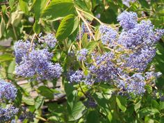 California Lilac - Selecting Sweet Shrubs for Your Smallest Spaces on HGTV