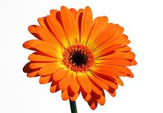 Orange Perfection is one of the latest flower photography fine art addition to www.RothGalleries.com. Gerber Daisies are one of the loveliest flowers on Earth and can be found in all kind of colors. Daisies flowers epitomize innocence, purity, and cheerfulness. From Wikipedia: Gerbera is a genus of ornamental plants from the sunflower family (Asteraceae). It was named in honour of the German botanist and naturalist Traugott Gerber who travelled extensively in Russia and was a friend of…