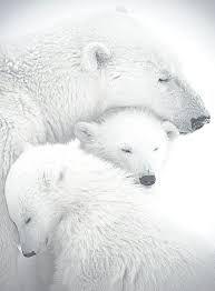 Résultats de recherche d'images pour «polar bear»