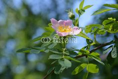 wild rose blooms. pink rose