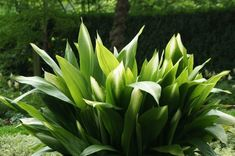 A gorgeous selection of the same cast iron plant. Though this isn't the biggest aspidistra in the world it reaches about 12 to 23 the size of typical at about 18 to 25 tall with 6 wide leaves brushed cream especially towards the tips. A stunning garden or container plant that can thrive in the deepest of shade. Best if kept out of direct sunlight especially in hot climates. Frost hardy in USDA zone 8 upper zone 7 with protection. Protect from slugs and snails.
