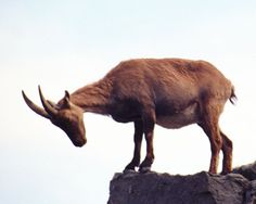 The Pyrenean ibex is one of two extinct subspecies of the Spanish ibex. The species was once numerous and roamed across France and Spain, but by the early 1900s its numbers had fallen to fewer than 100. The last Pyrenean ibex, a female nicknamed Celia, was found dead in northern Spain on Jan. 6, 2000, killed by a falling tree.  Pyrenean ibex  Photo:Getty Image | Related Topics: Endangered Species, Extinction, MNN lists, Wild Animals
