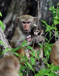 "Wait, There are Monkeys in Florida? ""Mother with infant"" Photo by anoldent"