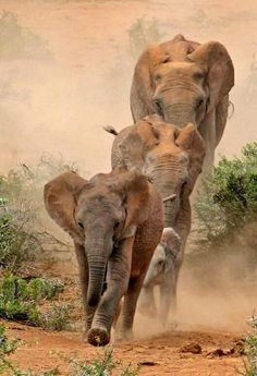 ♂ Wildlife photography animals elephant run Elephants Never Forget, Save The Elephants, Baby Elephants, Animals And Pets, Baby Animals, Cute Animals, Wild Animals, Animals Images, African Elephant